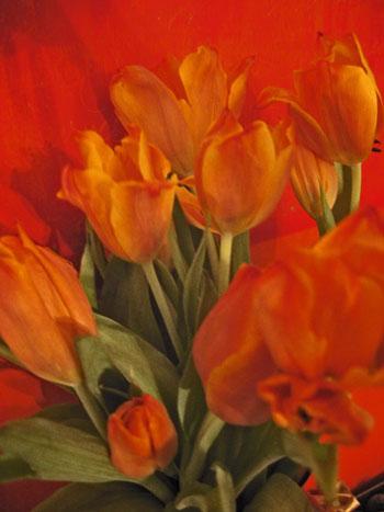 Fiery_Tulips
