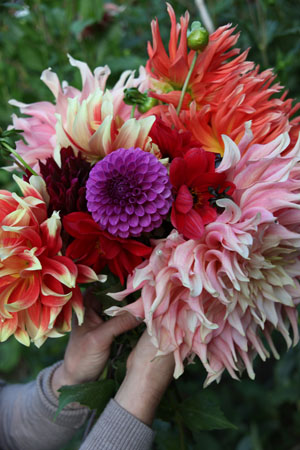 Varieties of Dahlias