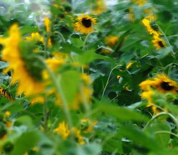 Field_of_sunflowers