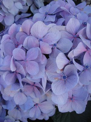 Violet_hydrangea
