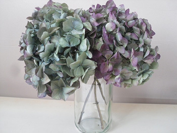 Dried_and_faded_hydrangea